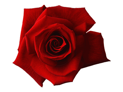 image of a red rose